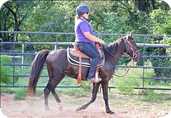 Tennessee Walking Horse Mix for adoption in McKinney, Texas - Ranger