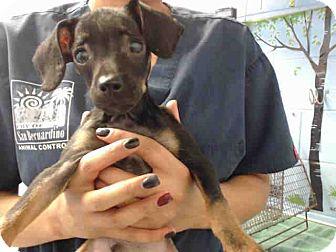 Chihuahua Mix Puppy for adoption in San Bernardino, California - URGENT ON 10/18 San Bernardino