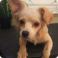 Adopt A Pet :: Amber - Costa Mesa, CA