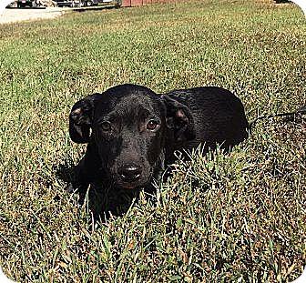 Labrador Retriever/Border Collie Mix Puppy for adoption in Allentown, Pennsylvania - Bixby