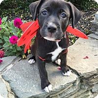 Labrador Retriever/Plott Hound Mix Puppy for adoption in Frederick, Maryland - Smokey Liz (Airplane Pups)