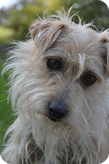 Parson Russell Terrier Mix Dog for adoption in Vacaville, California - Sandy