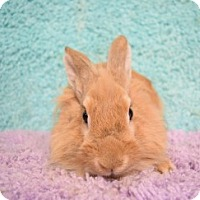 Lionhead Mix for adoption in Montclair, California - Apricot