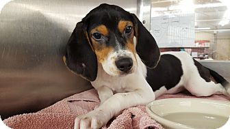 Beagle/Coonhound (Unknown Type) Mix Dog for adoption in St John, Indiana - Aaron
