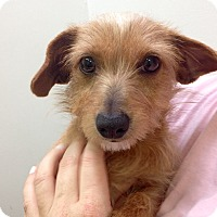 Adopt A Pet :: Dolly - Marina del Rey, CA