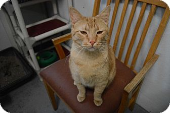 Domestic Shorthair Cat for adoption in Grinnell, Iowa - Ozzy