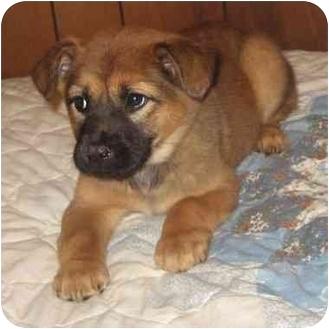 Australian Shepherd/Chow Chow Mix Puppy for adoption in Kansas City ...