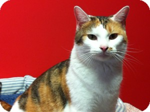 Domestic Shorthair Cat for adoption in Topeka, Kansas - Shyla