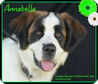 St. Bernard Mix Dog for adoption in Plano, Texas - Annabelle