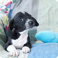 Adopt A Pet :: Joey - Homewood, AL