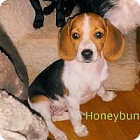 Adopt A Pet :: Honeybun - House Springs, MO