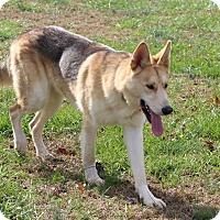 Adopt A Pet :: Denali (Cat Friendly) - Greeneville, TN