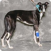 Adopt A Pet :: Holly - Kansas City, MO