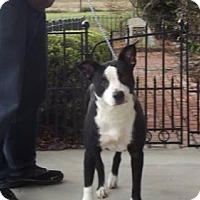 Border Collie Mix Dog for adoption in Dublin, Virginia - Peekaboo