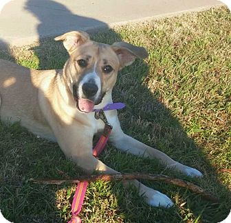 Labrador Retriever Mix Dog for adoption in Frisco, Texas - Bessy
