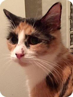 Calico Cat for adoption in McKinney, Texas - Leia