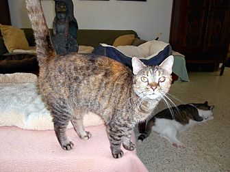 Domestic Shorthair Cat for adoption in Bonita Springs, Florida - Minnie