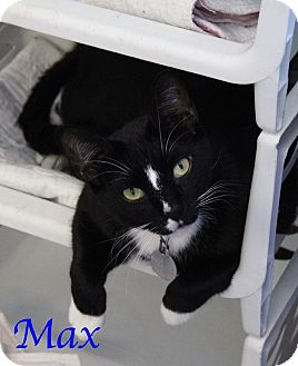 Domestic Shorthair Cat for adoption in Bradenton, Florida - Max