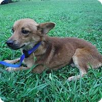 Adopt A Pet :: Caleb - Batesville, AR