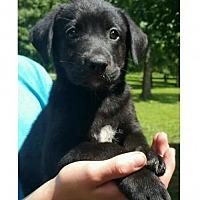 Adopt A Pet :: Apple - Little Rock, AR
