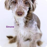 Adopt A Pet :: Simone - Needs Foster - Bloomington, MN