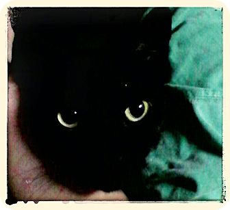 Domestic Shorthair Cat for adoption in Trevose, Pennsylvania - Estella