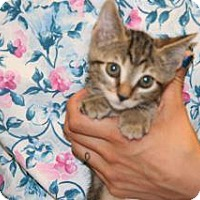 Domestic Shorthair Kitten for adoption in Wildomar, California - 315985