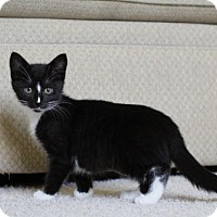 Domestic Shorthair Kitten for adoption in Minneapolis, Minnesota - Litten