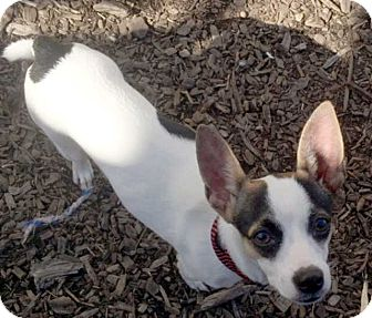 Jack Russell Terrier/Chihuahua Mix Puppy for adoption in New York, New York - Oliver!