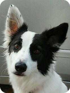 Border Collie Dog for adoption in Houston, Texas - Pepper