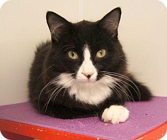 Manx Kitten for adoption in Colorado Springs, Colorado - Figaro