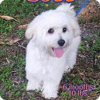 Adopt A Pet :: Bozz - Wellington, FL