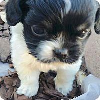 Adopt A Pet :: Adorable Sweetie Pie - Los Angeles, CA
