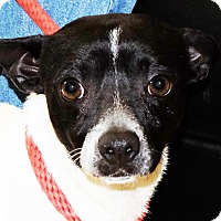 Jack Russell Terrier Mix Dog for adoption in Spokane, Washington - Mickey