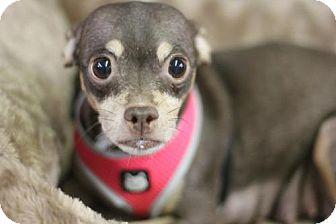 Chihuahua Dog for adoption in Phoenix, Arizona - emma