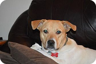 Beagle/Boxer Mix Dog for adoption in Grafton, Wisconsin - Beyonce - PENDING