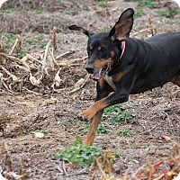 Adopt A Pet :: Nadine - Pittsboro, NC