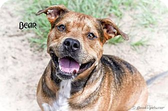Hound (Unknown Type)/German Shepherd Dog Mix Dog for adoption in Leesburg, Florida - Bear