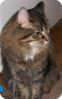Maine Coon Cat for adoption in Huntsville, Ontario - Monkey - Playful!