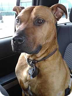 Lucky Adopted Adopted Dog Detroit Mi American Staffordshire Terrier Mastiff Mix