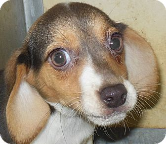Beagle Puppy for adoption in MINNEAPOLIS, Kansas - Rishi