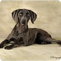Adopt A Pet :: Shelby - Las Vegas, NV