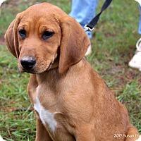 Adopt A Pet :: Ladybug - Bedford, VA