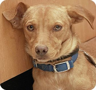 Chihuahua Mix Dog for adoption in Palmdale, California - Ricky