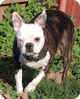 boston terrier rescue missouri joplin mo boston terrier meet oreo cookie a dog for 435