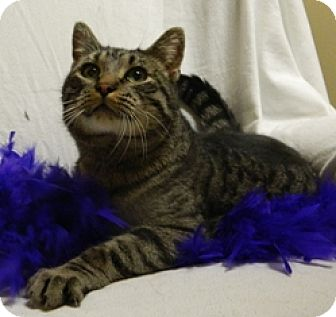 Domestic Shorthair Cat for adoption in Columbus, Nebraska - Victor