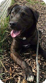 Labrador Retriever Mix Dog for adoption in Newport, Michigan - Shady