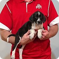 Adopt A Pet :: Sadie - New Philadelphia, OH