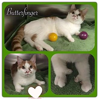 Domestic Shorthair Kitten for adoption in Harrisburg, North Carolina - Butterfinger