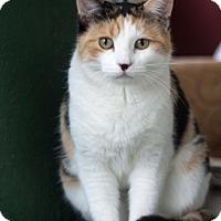 Domestic Shorthair Cat for adoption in Prescott, Arizona - Buttercup